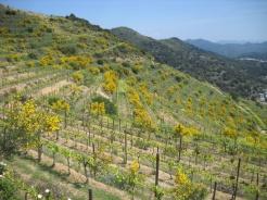 Vinyes prop del Turó de Galzeran