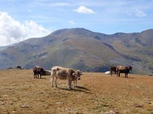 Pastures entre el Fontnegra i el Rocs Blancs (vistes al Puigmal)
